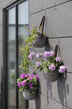Geranie, Pelargonie, Funkie, violett, rosa, Hängetopf, Stadtbalkon, Wanddekoration, rosa, lila